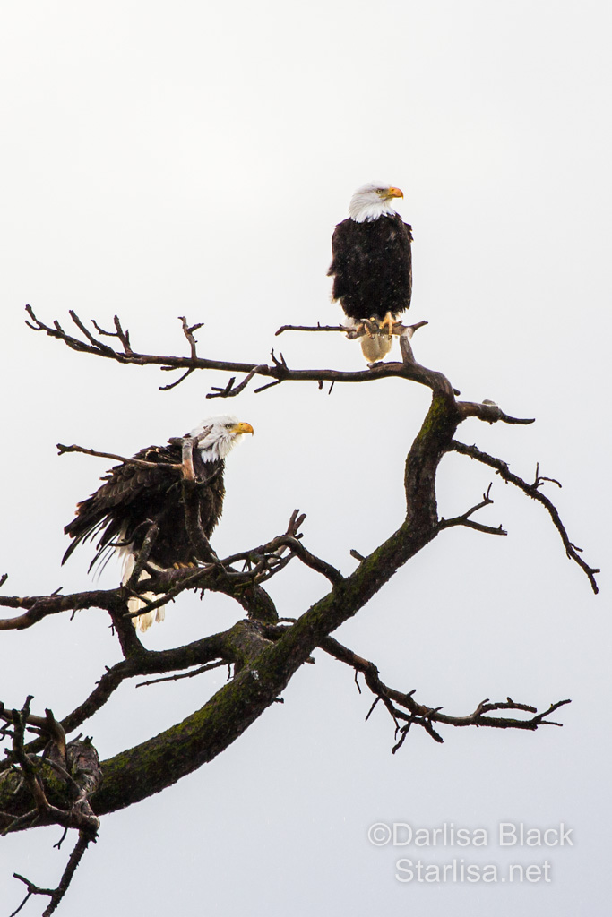 Bald Eagles in a strong wind, in a snag along the Columbia River near Lyle, Washington.  Photo by Darlisa Black, of Starlisa Black Photography.  February, 2014