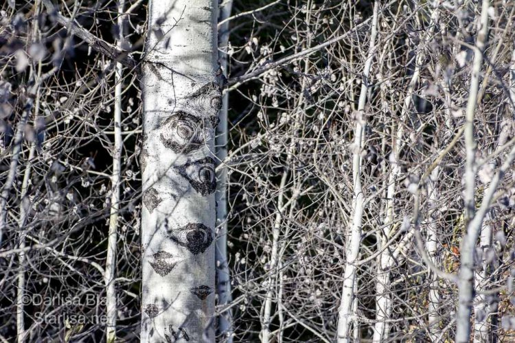 "Grandmother Aspen tree surrounded by babies, slender white trees in winter dancing around an old aspen with many Eye shaped scars on the trunk.  ~ ""I've Got My Eye on You! ~ photo by Darlisa Black www.starlisa.net"