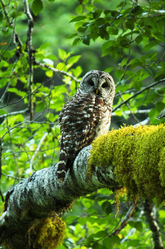 Barred Owl in Gifford Pinchot National Forest near Packwood, Washington
