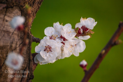 Fruit trees burst into bloom in the orchards