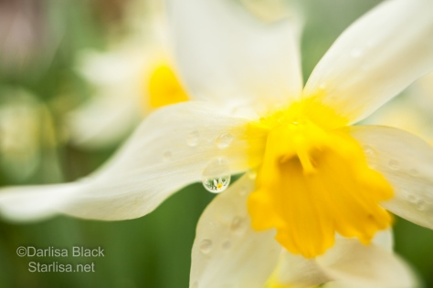 Look closely for the refraction of another flower in the raindrop on this Daffodil