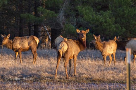 Herd of Elk with Golden light just before sunset.  Right along the BZ-Glenwood Highway not far from town.