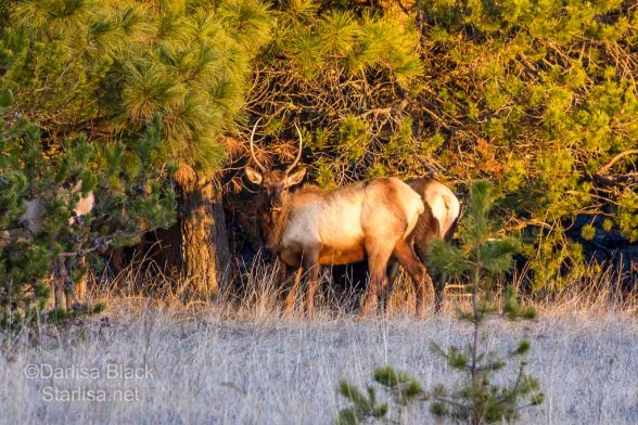 Young Bull Elk with really long spikes, with Golden light just before sunset. Right along the BZ-Glenwood Highway not far from town.