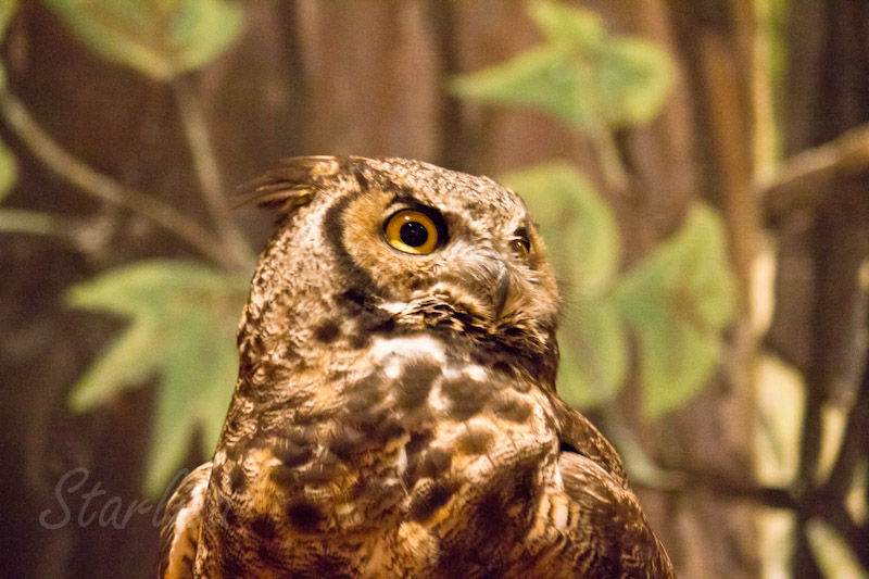 Great Horned Owl at the Discovery Center in The Dalles, Oregon