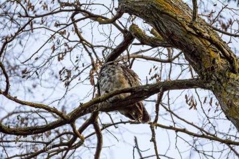 Great Horned Owl over my head in the tree