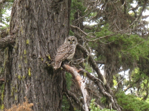 Barred Owl near Mount Adams