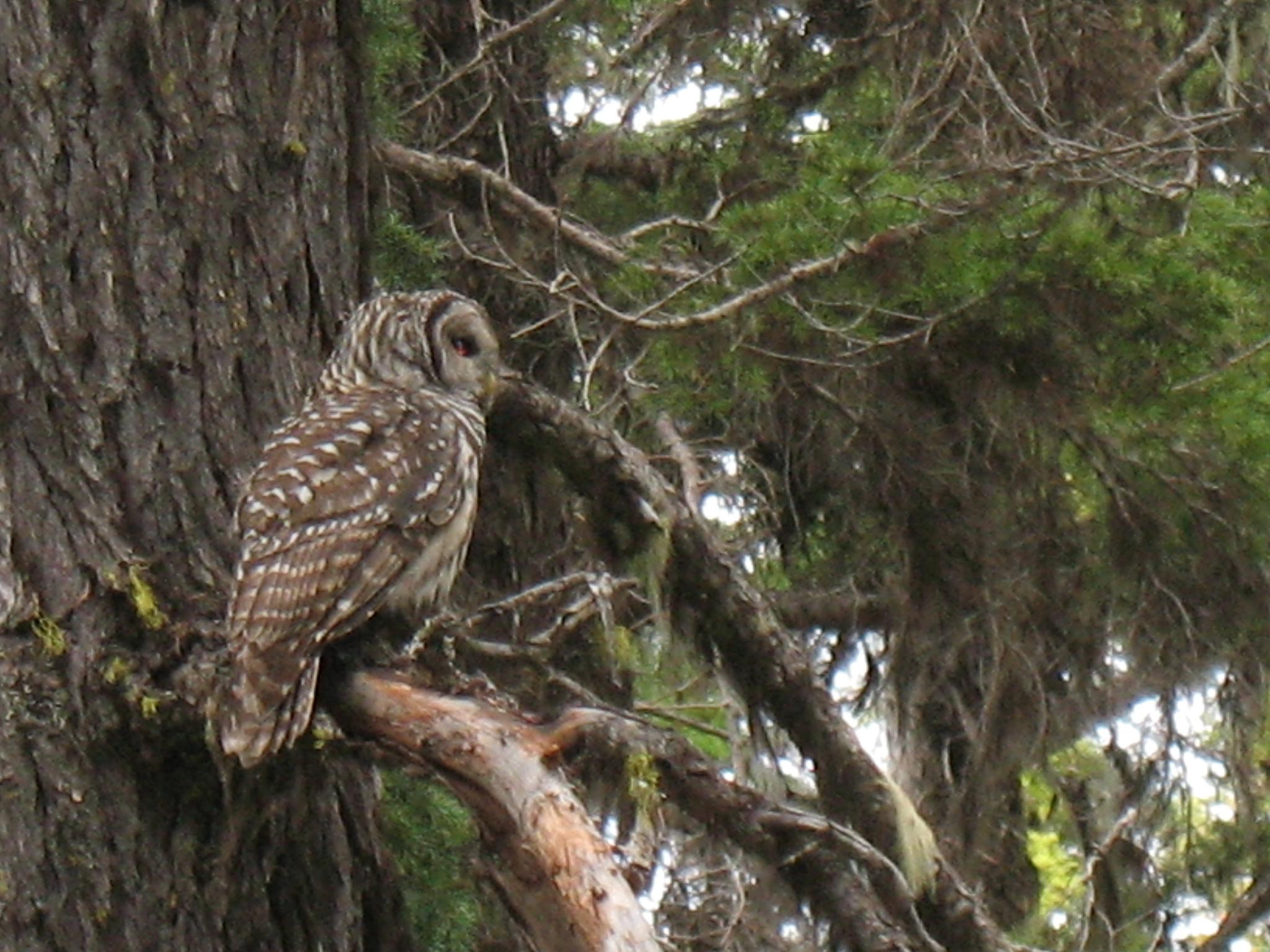 Barred Owl near Mount Adams