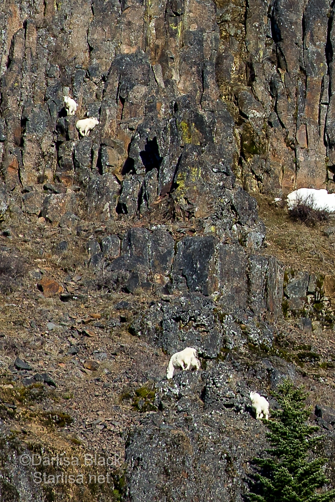 Mountain Goats on cliffs near the Klickitat River