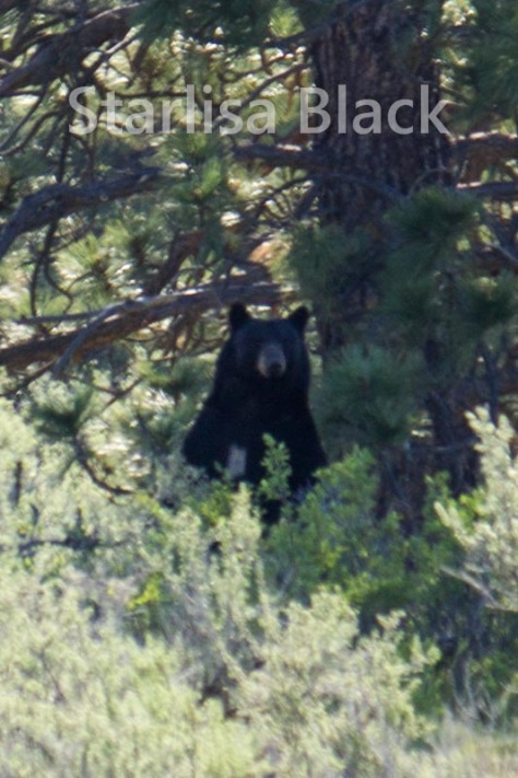 Wild Bear in Eastern Washington