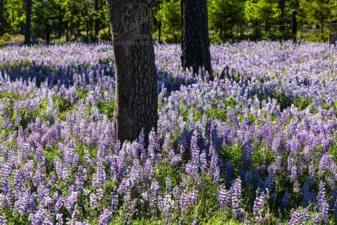 Along the road I found masses of Lupines in hidden places off side roads