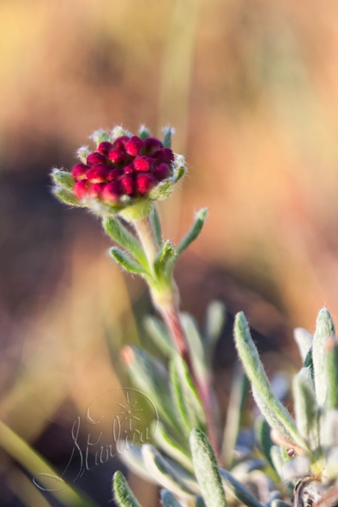 Rosy Pussytoes,  Antennaria microphylla Eastern Washington wildflower