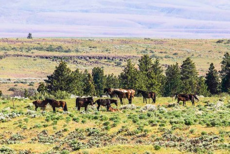 Wild Horse herd in Eastern Washington
