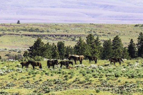 Wild Horse herd in Eastern Washington