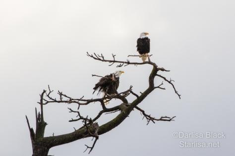 Eagles_5709-3