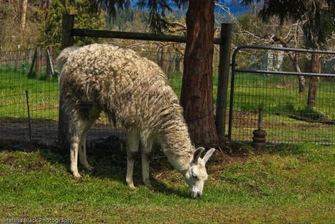 TroutLake_Llama-9231