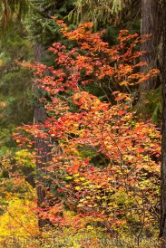 Vine Maples in Autumn
