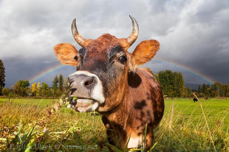 Cow-Rainbow-TL_7174