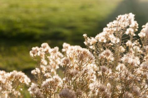 Idaho-seedheads-7450