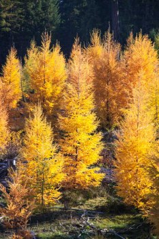 Tamarack, or Western Larch in autumn