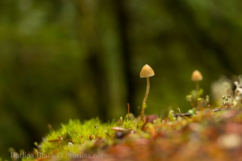 tiny dancing mushroom growing in moss along the Pacific Crest Trail near the Wind River in southern Washington