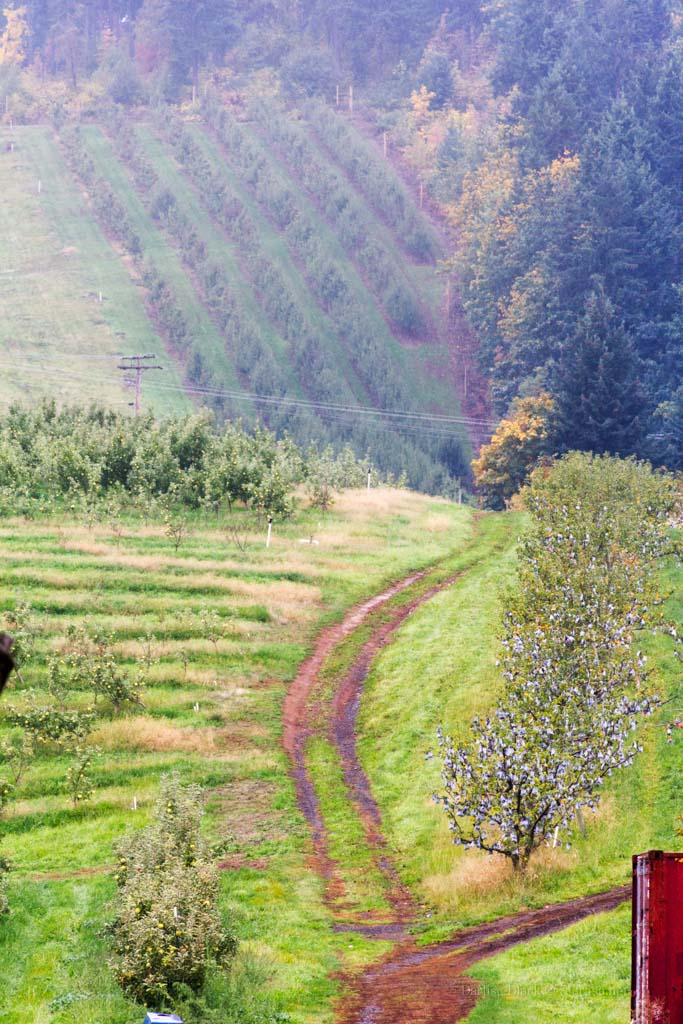 Hood River Valley orchards October 25, 2014.  No fall color at that time.