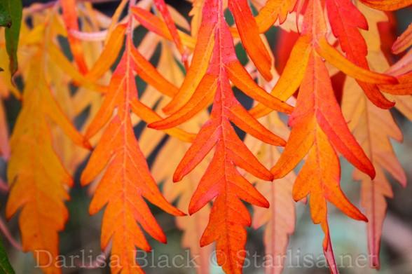 Sumac Dancing Leaves