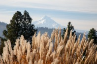 Grasses_&_MtHood-9863