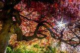 JapaneseMaple-WS_9828