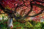 JapaneseMaple-WS_9831