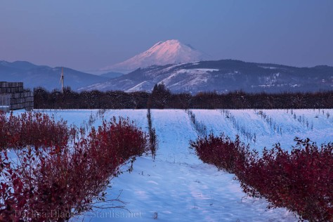 Mount Adams at twilight from blueberry fields in Hood River Valley, Oregon