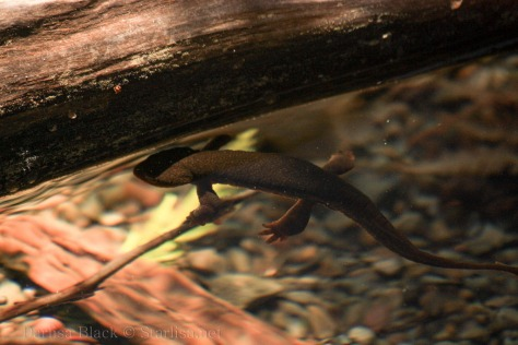 Salamander-0409