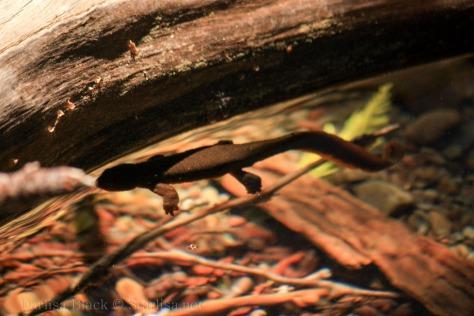 Salamander-0410