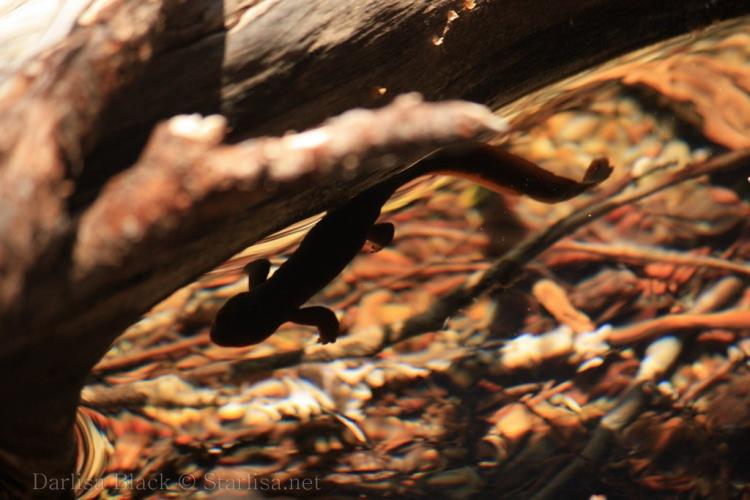 Salamander-0414
