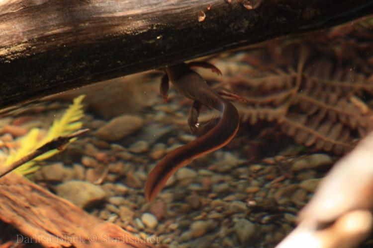Salamander-0424