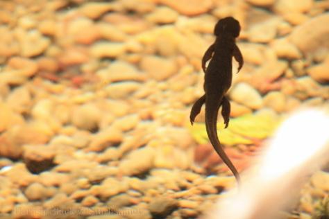 Salamander-0430