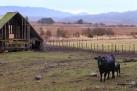 Barn-Cow_KrepsLane-7726