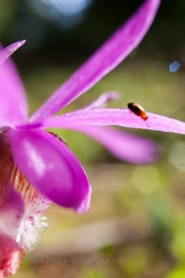 Calypso-Orchid-5226