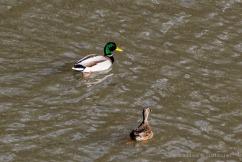Ducks_KlickitatRiver-3054