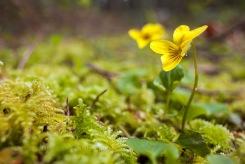Yellow-Violet_Underwood_4598