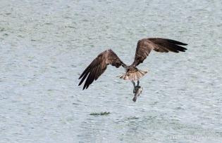 Osprey_Fish_5729