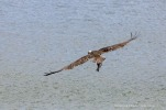 Osprey_Fish_5730