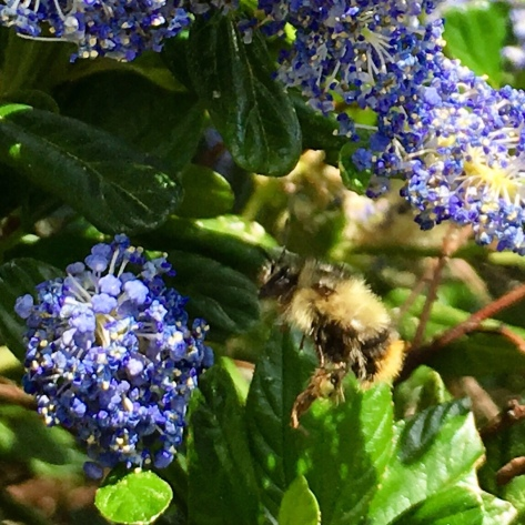 Bee flying among Ceanothus flowers